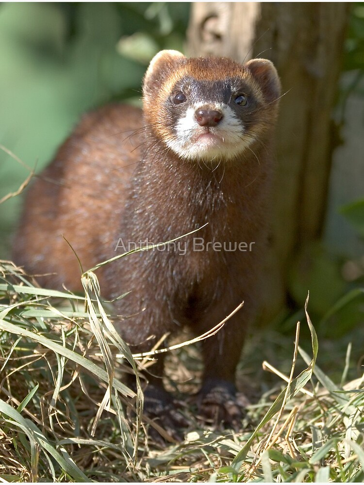Path of the polecat by dailyanimals