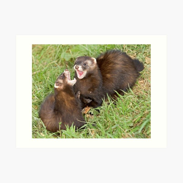 Duet in the key of polecat Art Print