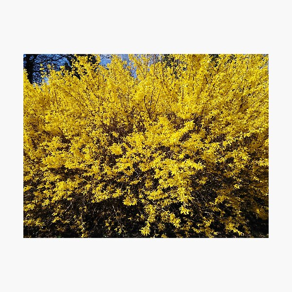 Yellow Bush Photographic Print