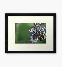 Bee on lavanda flower Framed Print