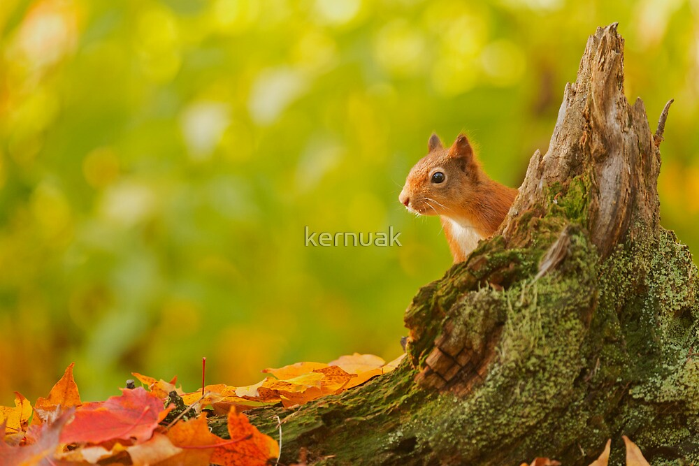 Red Squirrel Peek-a-boo by kernuak