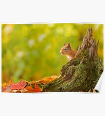 Red Squirrel Peek-a-boo Poster
