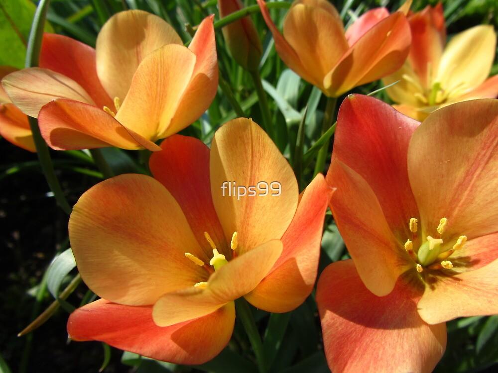 Orange botanical tulips by flips99