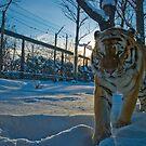 Caged Tigre by Alain Robillard