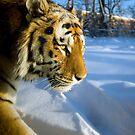 Tigre 2 by Alain Robillard