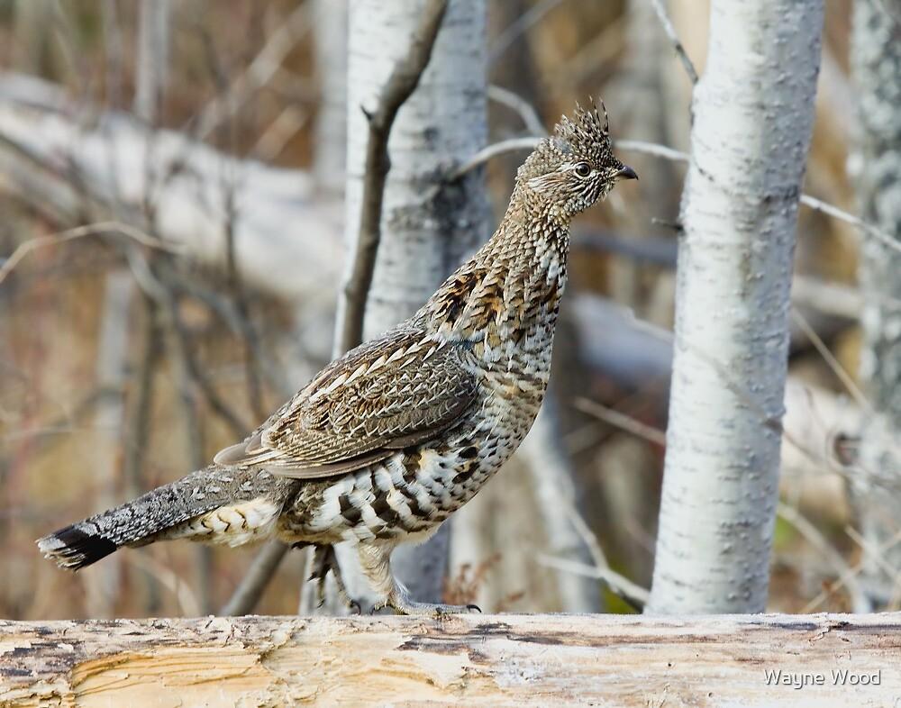 Ruffed Grouse in Habitat by Wayne Wood