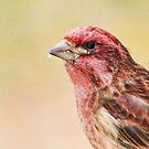 Purple finch head shot by Penny Rinker