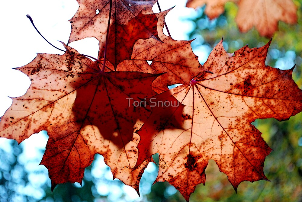 Fall Maple Leaves by Tori Snow
