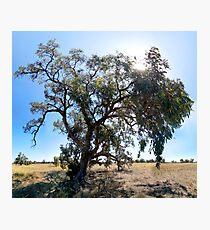 Eucalypt, Rural NSW Photographic Print