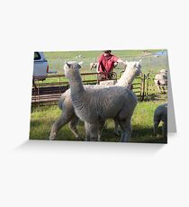 'YOU WATCH OVER THERE & I'LL WATCH OVER HERE'! Alpaccas on the job. Greeting Card