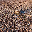 dead magpie goose on dry lake bed by rodriguez