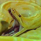 Albino Burmese Python by neil harrison