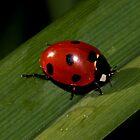 Ladybug by annalisa bianchetti