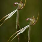 Native Orchids by louise