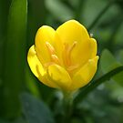 Sternbergia by marens