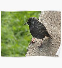 150 - STARLING AT CULLERCOATS (D.E. 2012) Poster