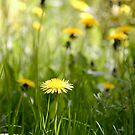 Dandelion in meadow by Phillip Shannon