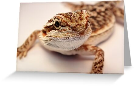 baby bearded dragon by clayton  jordan