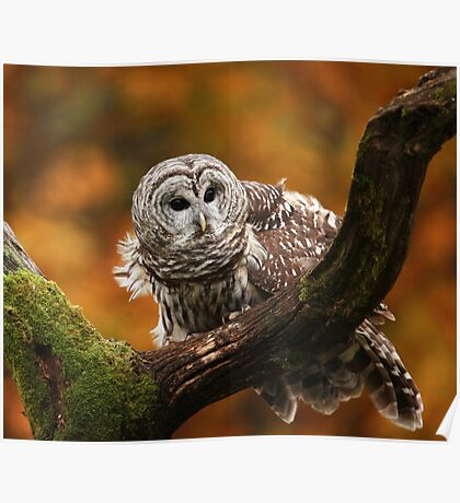 Barred Owl ~ Poster