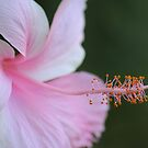 Pink Hibiscus by Bob Hardy