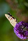 Painted Lady by Nigel Bangert