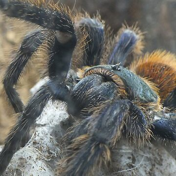 Big Hairy Tarantula by astralsid