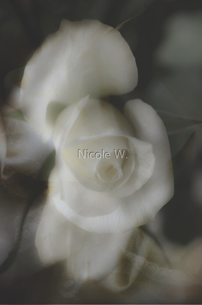 White rose by Nicole W.