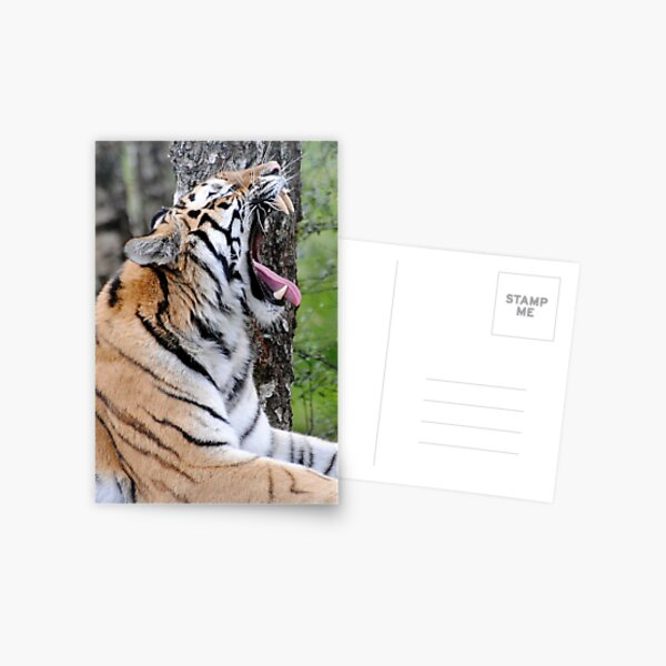 Tired Tiger  Postcard