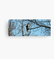 Hawk Perched in Tree Canvas Print