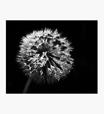 Dandelion in Monochrome Photographic Print