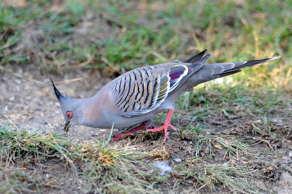 Image result for Crested and spinifex pigeons pic