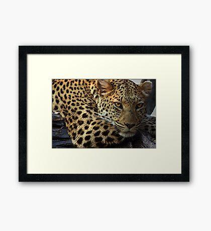 Leopard near Stanleys Camp, Botswana Framed Print