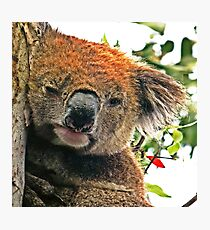 Otways Koala Photographic Print