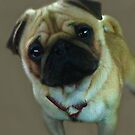 Pug by vic321