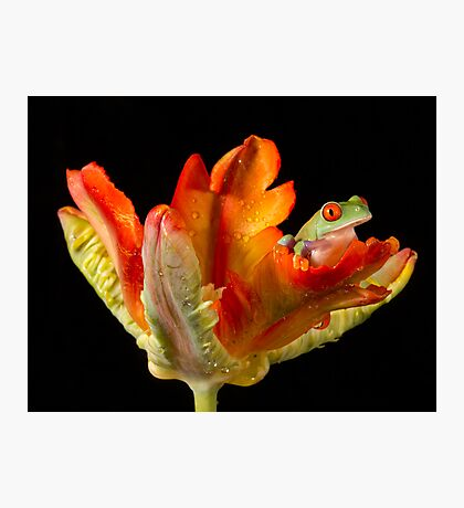 Red eyed tree frog on parrot tulip Photographic Print