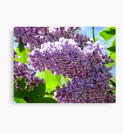 Dreamy Lilac Canvas Print