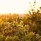 Golden Sunlight by Kuzeytac
