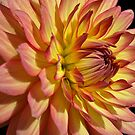 Dazzling Dahlia! by Lee d'Entremont