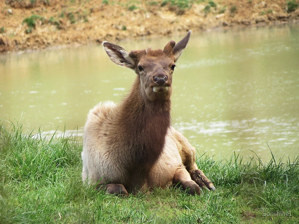 A Young Elk Bull by Sonshine1