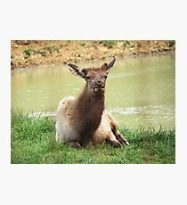 A Young Elk Bull Photographic Print