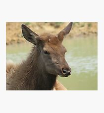 A Young Elk Bull 2 Photographic Print