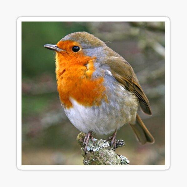 Red Red Robin Sticker