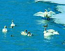 Swans & Company by Yukondick