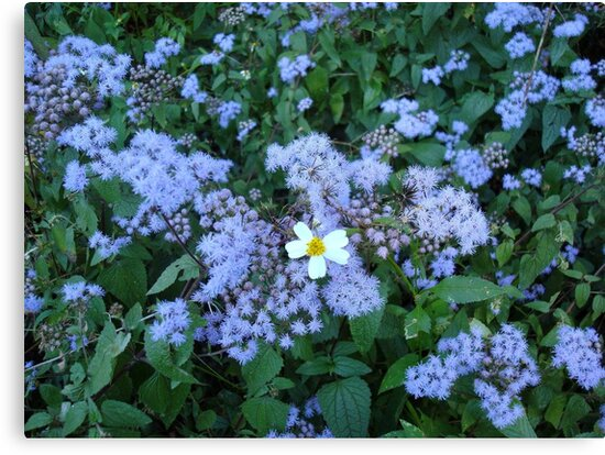 Wild Ageratum and Bidens alba (He loves me, he loves me not) by May Lattanzio