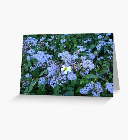 Wild Ageratum and Bidens alba (He loves me, he loves me not) Greeting Card