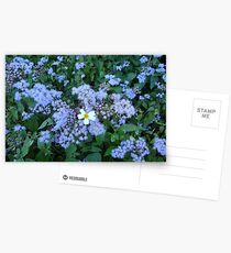 Wild Ageratum and Bidens alba (He loves me, he loves me not) Postcards