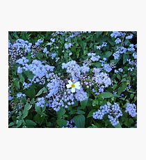 Wild Ageratum and Bidens alba (He loves me, he loves me not) Photographic Print
