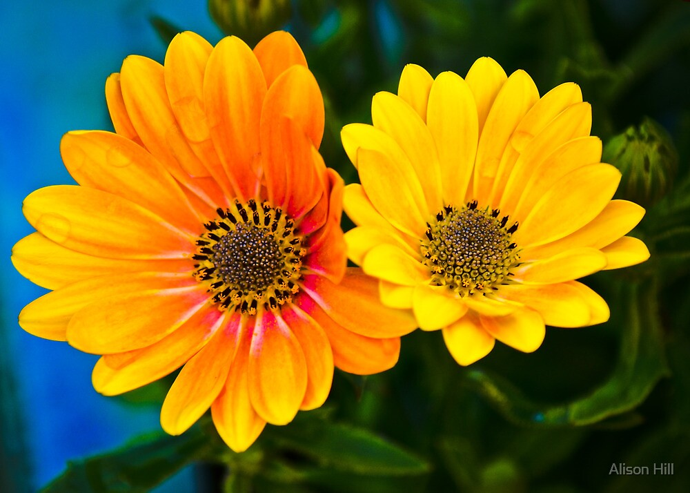 Double Daisy by Alison Hill