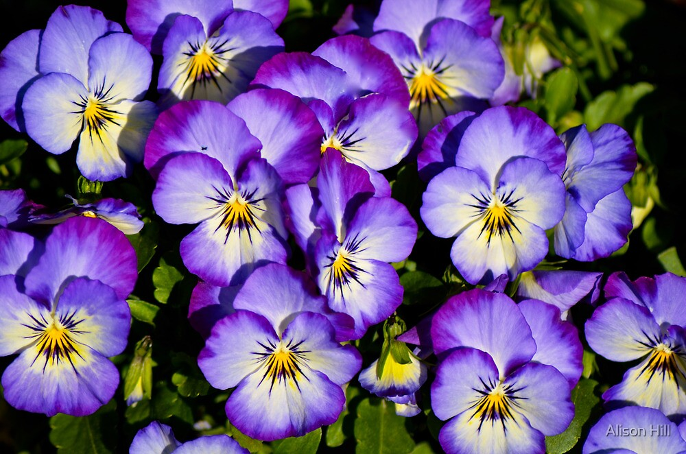 Pansy Series 1 by Alison Hill