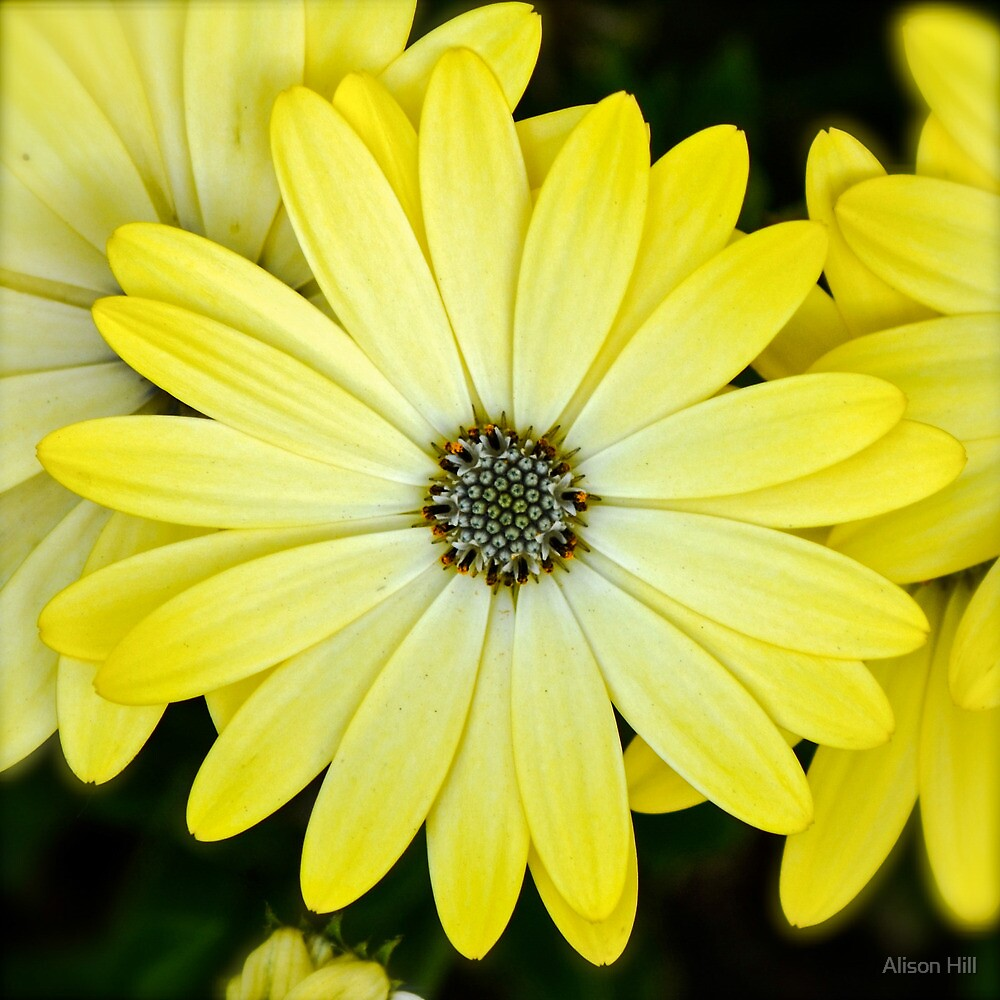 Daisy Delight by Alison Hill